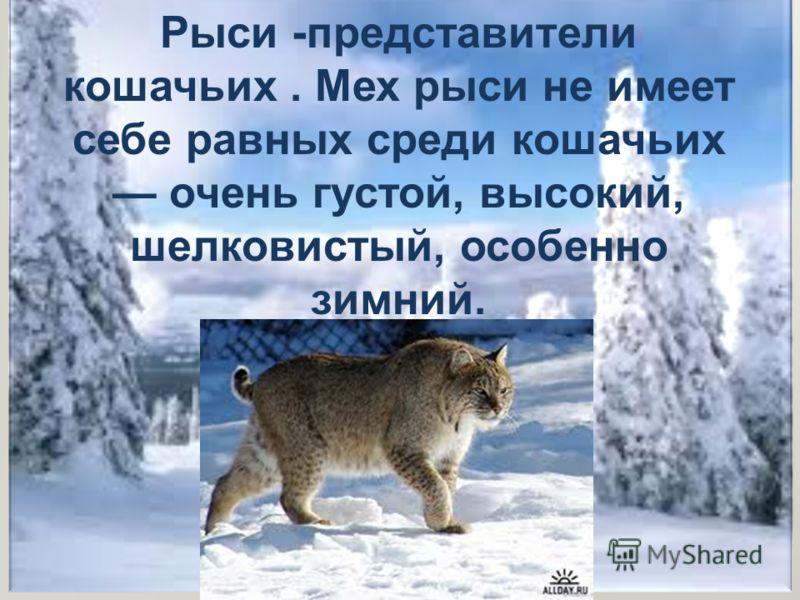 Рыси -представители кошачьих. Мех рыси не имеет себе равных среди кошачьих очень густой, высокий, шелковистый, особенно зимний.