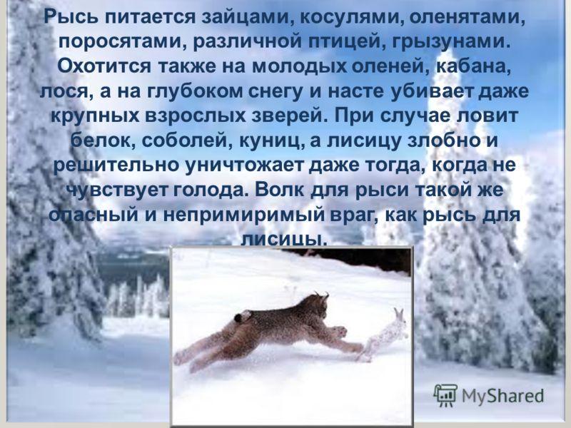 Рысь питается зайцами, косулями, оленятами, поросятами, различной птицей, грызунами. Охотится также на молодых оленей, кабана, лося, а на глубоком снегу и насте убивает даже крупных взрослых зверей. При случае ловит белок, соболей, куниц, а лисицу зл