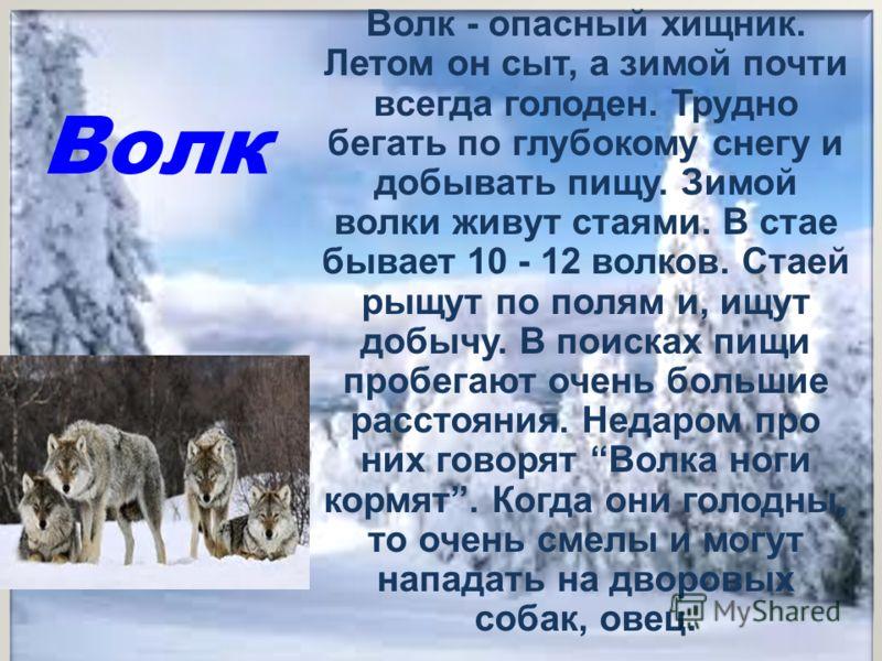 Волк Волк - опасный хищник. Летом он сыт, а зимой почти всегда голоден. Трудно бегать по глубокому снегу и добывать пищу. Зимой волки живут стаями. В стае бывает 10 - 12 волков. Стаей рыщут по полям и, ищут добычу. В поисках пищи пробегают очень боль