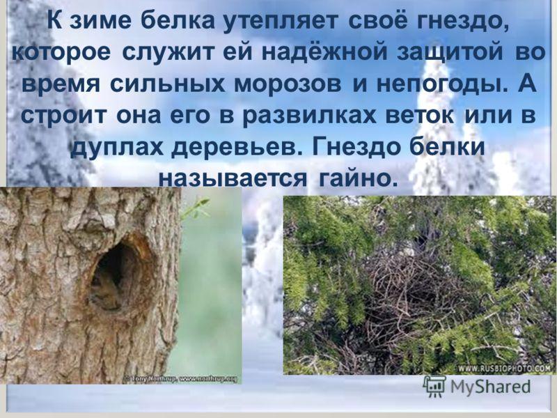 К зиме белка утепляет своё гнездо, которое служит ей надёжной защитой во время сильных морозов и непогоды. А строит она его в развилках веток или в дуплах деревьев. Гнездо белки называется гайно.