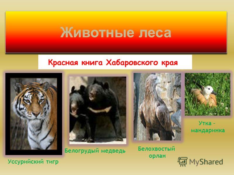 Животные леса Красная книга Хабаровского края Белохвостый орлан Уссурийский тигр Белогрудый медведь Утка – мандаринка