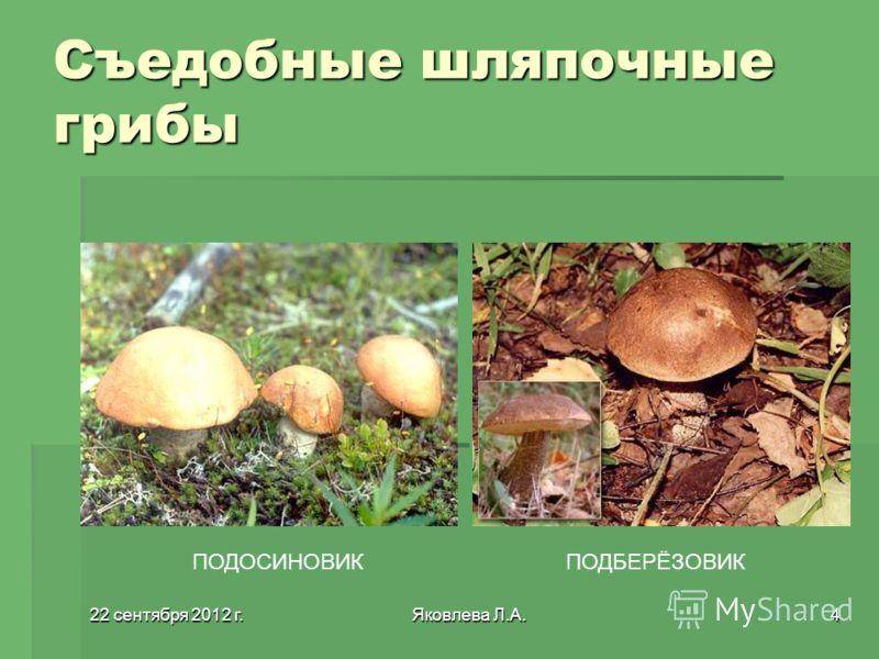 22 сентября 2012 г.22 сентября 2012 г.22 сентября 2012 г.22 сентября 2012 г.Яковлева Л.А.4 Съедобные шляпочные грибы ПОДОСИНОВИКПОДБЕРЁЗОВИК