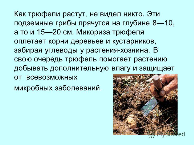 Как трюфели растут, не видел никто. Эти подземные грибы прячутся на глубине 810, а то и 1520 см. Микориза трюфеля оплетает корни деревьев и кустарников, забирая углеводы у растения-хозяина. В свою очередь трюфель помогает растению добывать дополнител