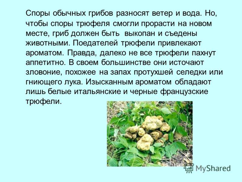 Споры обычных грибов разносят ветер и вода. Но, чтобы споры трюфеля смогли прорасти на новом месте, гриб должен быть выкопан и съедены животными. Поедателей трюфели привлекают ароматом. Правда, далеко не все трюфели пахнут аппетитно. В своем большинс