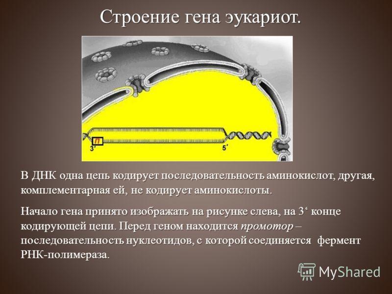 Строение гена эукариот. В ДНК одна цепь кодирует последовательность аминокислот, другая, комплементарная ей, не кодирует аминокислоты. Начало гена принято изображать на рисунке слева, на 3 конце кодирующей цепи. Перед геном находится промотор – после