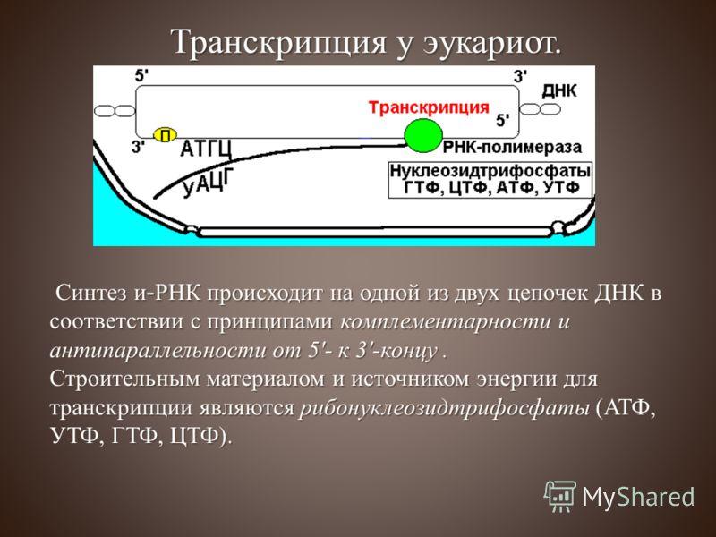 Синтез и-РНК происходит на одной из двух цепочек ДНК в соответствии с принципами комплементарности и антипараллельности от 5'- к 3'-концу. Синтез и-РНК происходит на одной из двух цепочек ДНК в соответствии с принципами комплементарности и антипаралл
