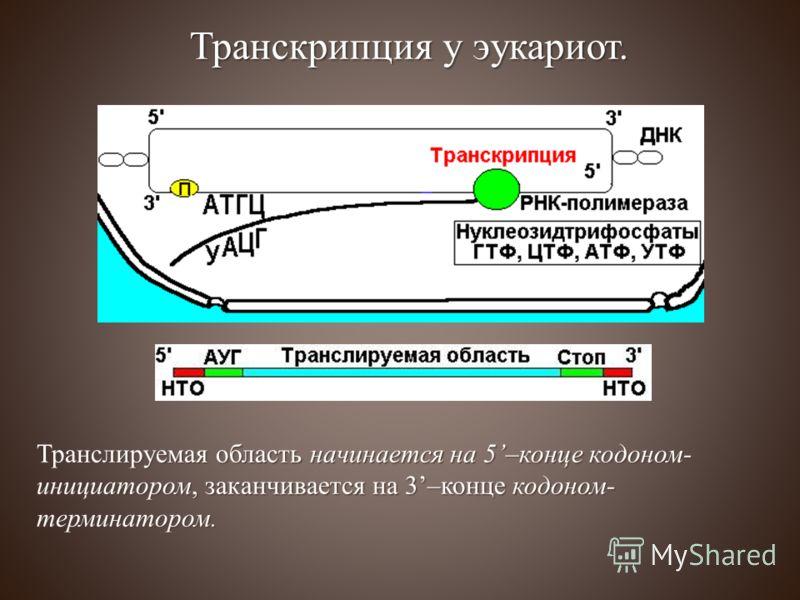 Транслируемая область начинается на 5–конце кодоном- инициатором, заканчивается на 3–конце кодоном- терминатором. Транскрипция у эукариот.