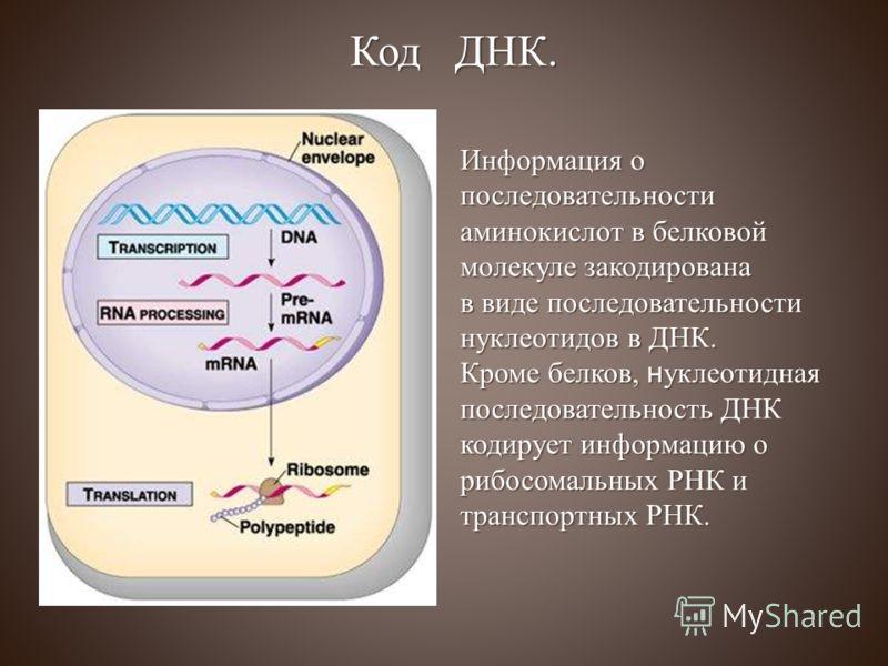 Информация о последовательности аминокислот в белковой молекуле закодирована в виде последовательности нуклеотидов в ДНК. Кроме белков, нуклеотидная последовательность ДНК кодирует информацию о рибосомальных РНК и транспортных РНК. Код ДНК.