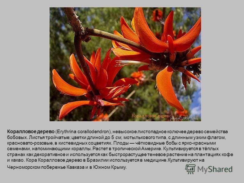 Коралловое дерево (Erythrina corallodendron), невысокое листопадное колючее дерево семейства бобовых. Листья тройчатые; цветки длиной до 5 см, мотылькового типа, с длинным узким флагом, красновато-розовые, в кистевидных соцветиях. Плоды чётковидные б