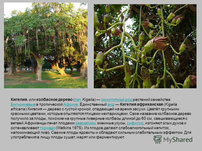 Кигелия, или колбасное дерево (лат. Kigelia) монотипный род растений семейства Бигнониевые в тропической Африке. Единственный вид Кигелия африканская (Kigelia africana).Кигелия дерево с густой кроной, опадающей на время засухи. Цветёт крупными красны