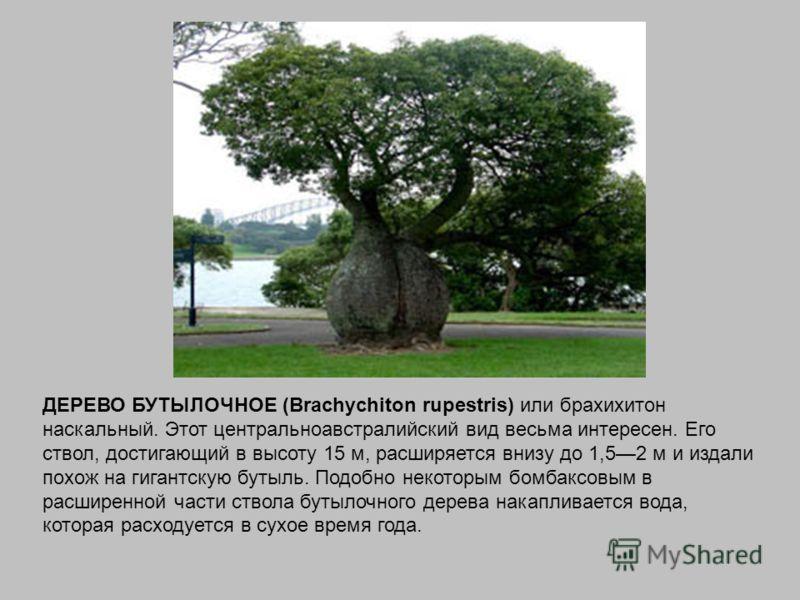 ДЕРЕВО БУТЫЛОЧНОЕ (Brachychiton rupestris) или брахихитон наскальный. Этот центральноавстралийский вид весьма интересен. Его ствол, достигающий в высоту 15 м, расширяется внизу до 1,52 м и издали похож на гигантскую бутыль. Подобно некоторым бомбаксо