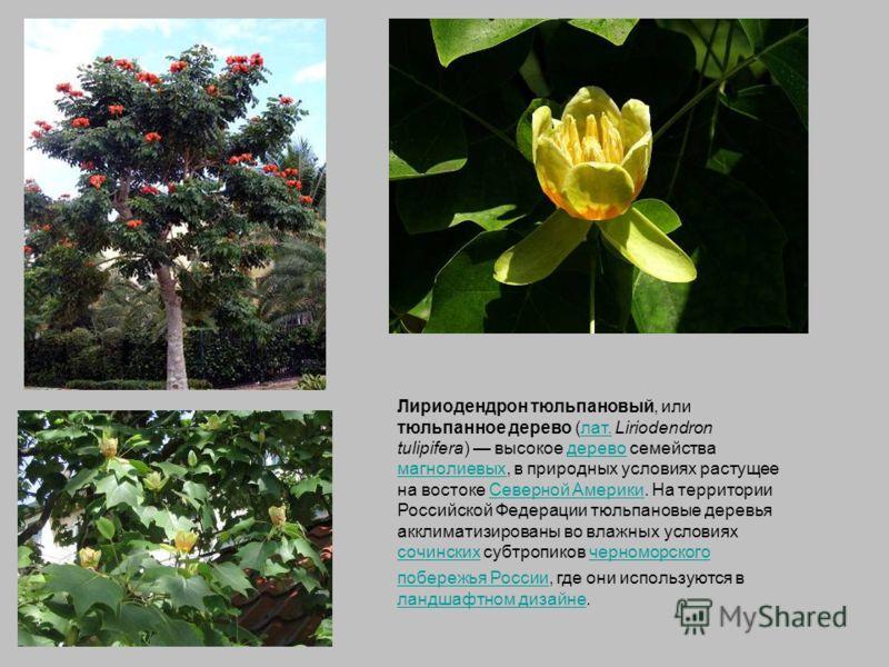 Лириодендрон тюльпановый, или тюльпанное дерево (лат. Liriodendron tulipifera) высокое дерево семейства магнолиевых, в природных условиях растущее на востоке Северной Америки. На территории Российской Федерации тюльпановые деревья акклиматизированы в