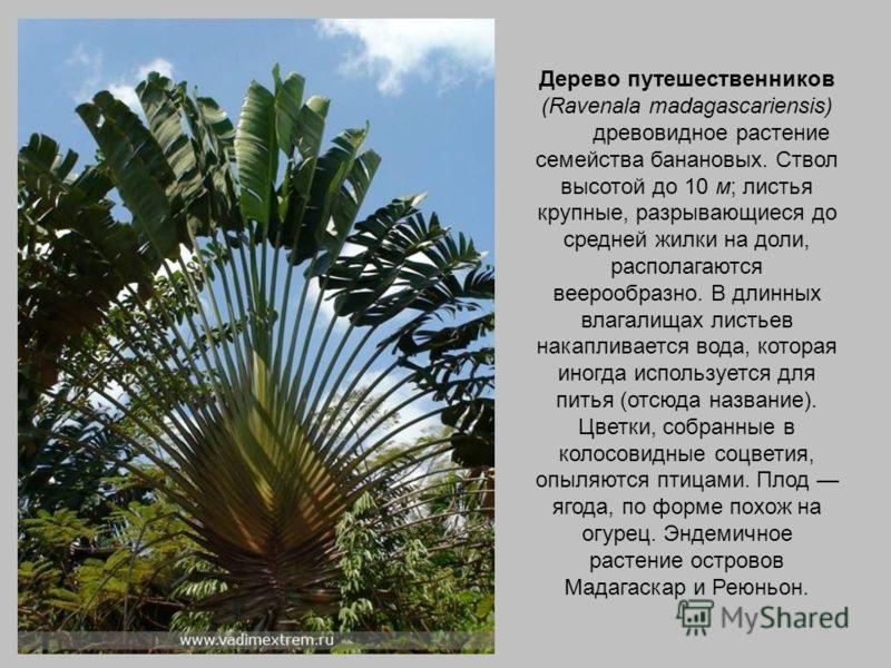 Дерево путешественников (Ravenala madagascariensis) древовидное растение семейства банановых. Ствол высотой до 10 м; листья крупные, разрывающиеся до средней жилки на доли, располагаются веерообразно. В длинных влагалищах листьев накапливается вода,