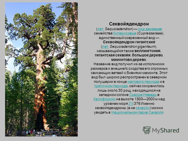 Секвойядендрон (лат. Sequoiadendron) род деревьев семейства Кипарисовые (Cupressaceae), единственный современный вид Секвойядендрон гигантский (лат. Sequoiadendron giganteum), называющийся также веллингтония, гигантская секвойя, большое дерево, мамон