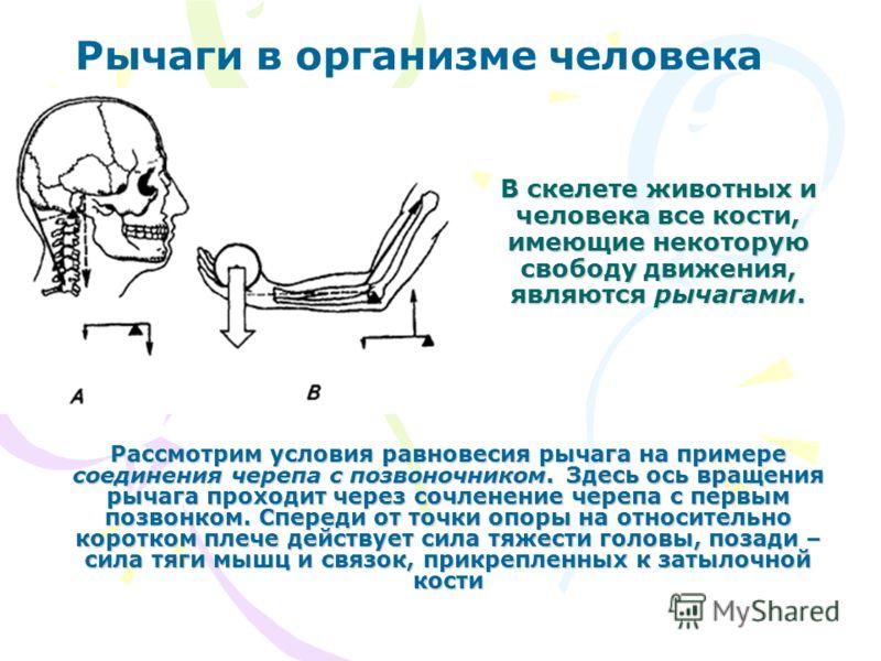 В скелете животных и человека все кости, имеющие некоторую свободу движения, являются рычагами. Рассмотрим условия равновесия рычага на примере соединения черепа с позвоночником. Здесь ось вращения рычага проходит через сочленение черепа с первым поз