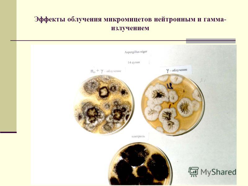 Эффекты облучения микромицетов нейтронным и гамма- излучением