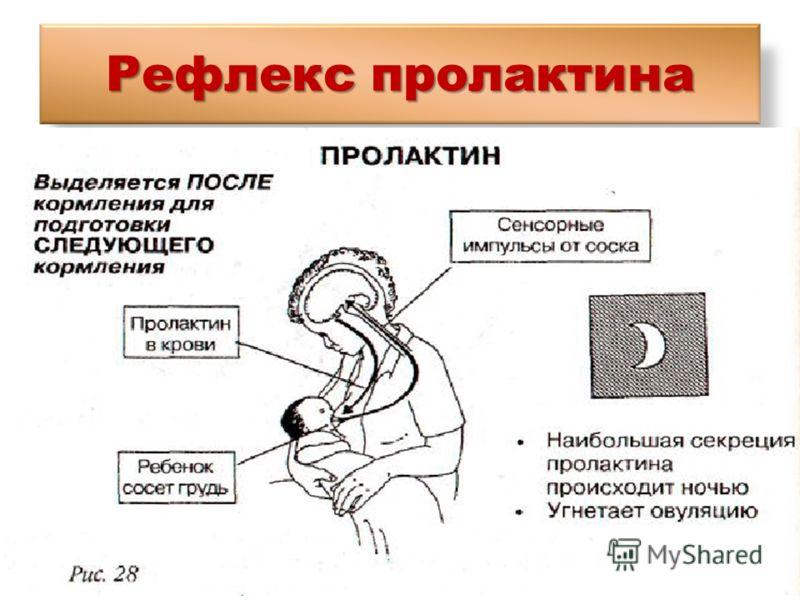 Рефлекс пролактина