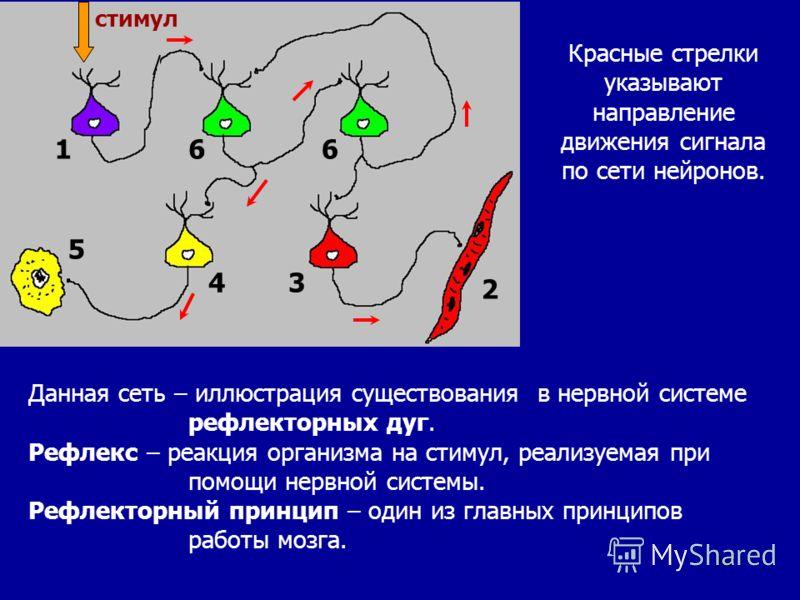 12 166 2 43 5 стимул Данная сеть – иллюстрация существования в нервной системе рефлекторных дуг. Рефлекс – реакция организма на стимул, реализуемая при помощи нервной системы. Рефлекторный принцип – один из главных принципов работы мозга. Красные стр
