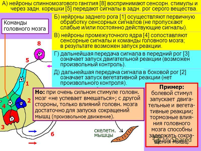 19 1 2 3 4 5 5 6 7 8 стимул внутр. органы скелетн. мышцы Команды головного мозга А) нейроны спинномозгового ганглия [8] воспринимают сенсорн. стимулы и через задн. корешки [5] передают сигналы в задн. рог серого вещества. Б) нейроны заднего рога [1]