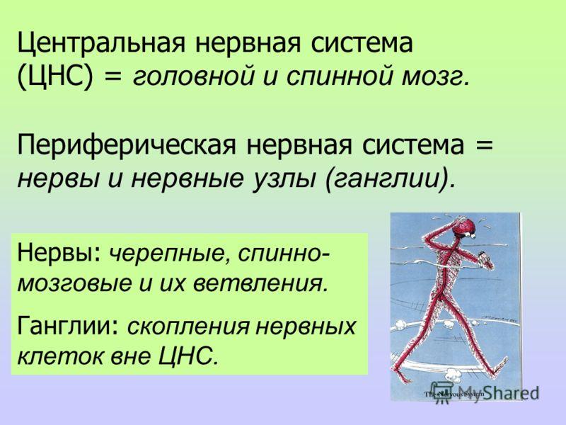 2 Центральная нервная система (ЦНС) = головной и спинной мозг. Периферическая нервная система = нервы и нервные узлы (ганглии). Нервы: черепные, спинно- мозговые и их ветвления. Ганглии: скопления нервных клеток вне ЦНС.