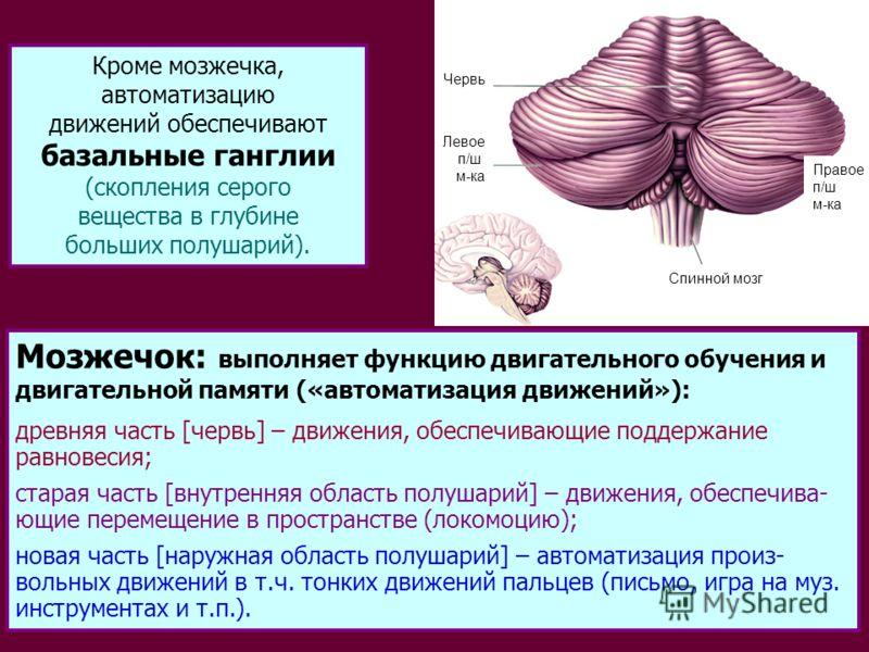23 Мозжечок: выполняет функцию двигательного обучения и двигательной памяти («автоматизация движений»): древняя часть [червь] – движения, обеспечивающие поддержание равновесия; старая часть [внутренняя область полушарий] – движения, обеспечива- ющие