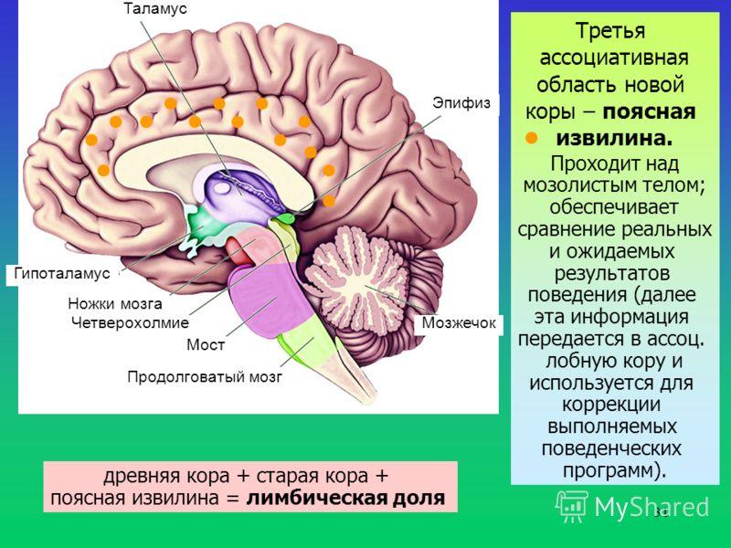 31 Таламус Гипоталамус Ножки мозга Четверохолмие Мост Продолговатый мозг Мозжечок Эпифиз Третья ассоциативная область новой коры – поясная извилина. Проходит над мозолистым телом; обеспечивает сравнение реальных и ожидаемых результатов поведения (дал