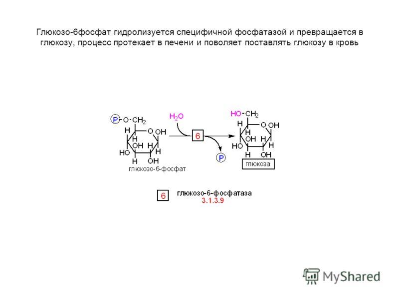Глюкозо-6фосфат гидролизуется специфичной фосфатазой и превращается в глюкозу, процесс протекает в печени и поволяет поставлять глюкозу в кровь