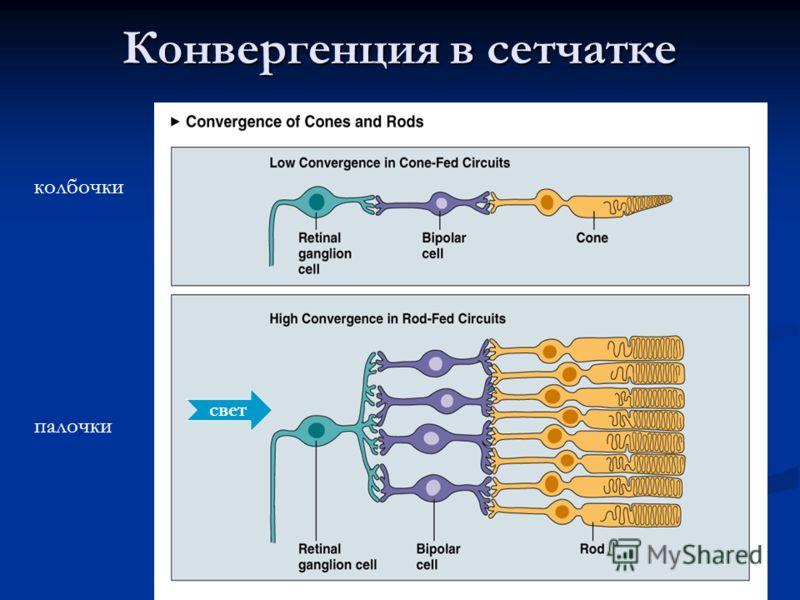 Конвергенция в сетчатке свет колбочки палочки
