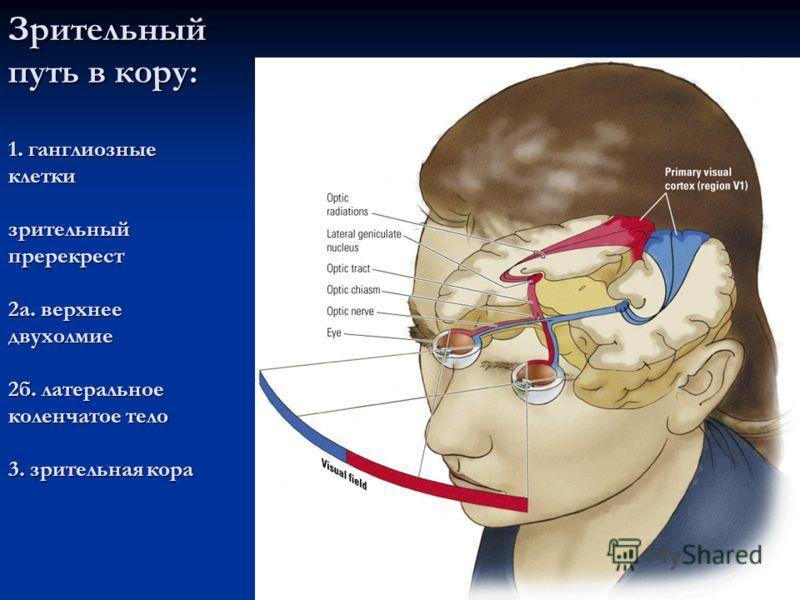 Зрительный путь в кору: 1. ганглиозные клетки зрительный пререкрест 2а. верхнее двухолмие 2б. латеральное коленчатое тело 3. зрительная кора