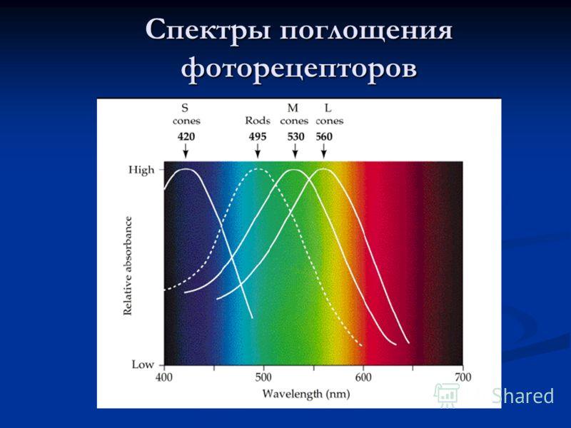 Спектры поглощения фоторецепторов