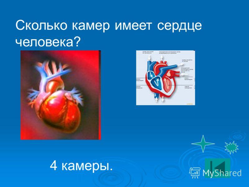 Сколько камер имеет сердце человека? 4 камеры.