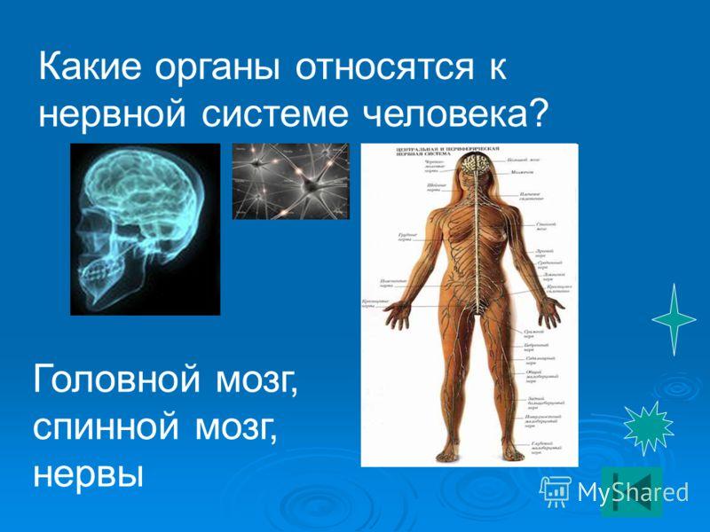 Какие органы относятся к нервной системе человека? Головной мозг, спинной мозг, нервы