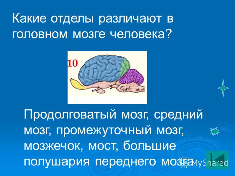 Какие отделы различают в головном мозге человека? Продолговатый мозг, средний мозг, промежуточный мозг, мозжечок, мост, большие полушария переднего мозга