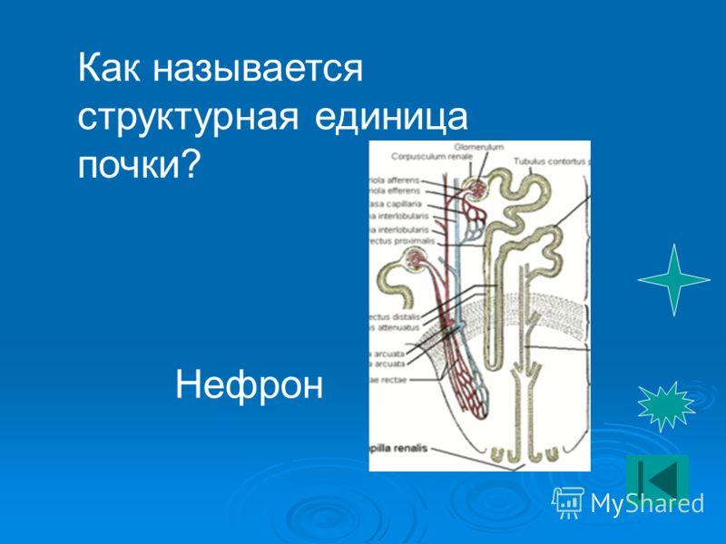 Как называется структурная единица почки? Нефрон