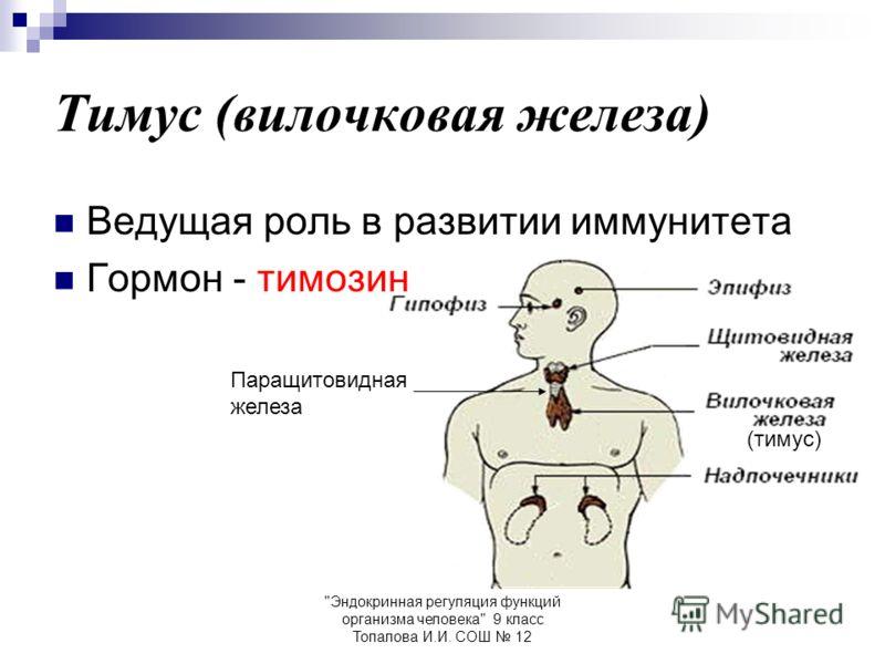 Эндокринная регуляция функций организма человека 9 класс Топалова И.И. СОШ 12 Тимус (вилочковая железа) Ведущая роль в развитии иммунитета Гормон - тимозин (тимус) Паращитовидная железа