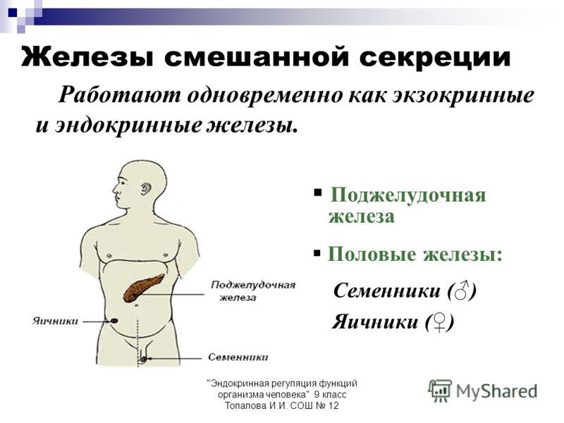 Эндокринная регуляция функций организма человека 9 класс Топалова И.И. СОШ 12 Железы смешанной секреции Работают одновременно как экзокринные и эндокринные железы. Поджелудочная железа Половые железы: Семенники () Яичники ()