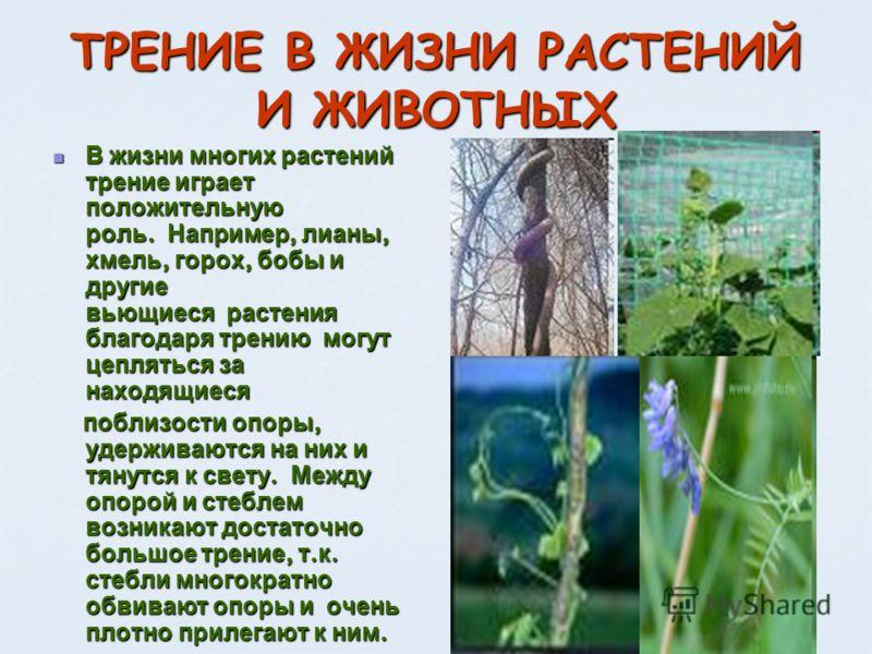 ТРЕНИЕ В ЖИЗНИ РАСТЕНИЙ И ЖИВОТНЫХ В жизни многих растений трение играет положительную роль. Например, лианы, хмель, горох, бобы и другие вьющиеся растения благодаря трению могут цепляться за находящиеся В жизни многих растений трение играет положите
