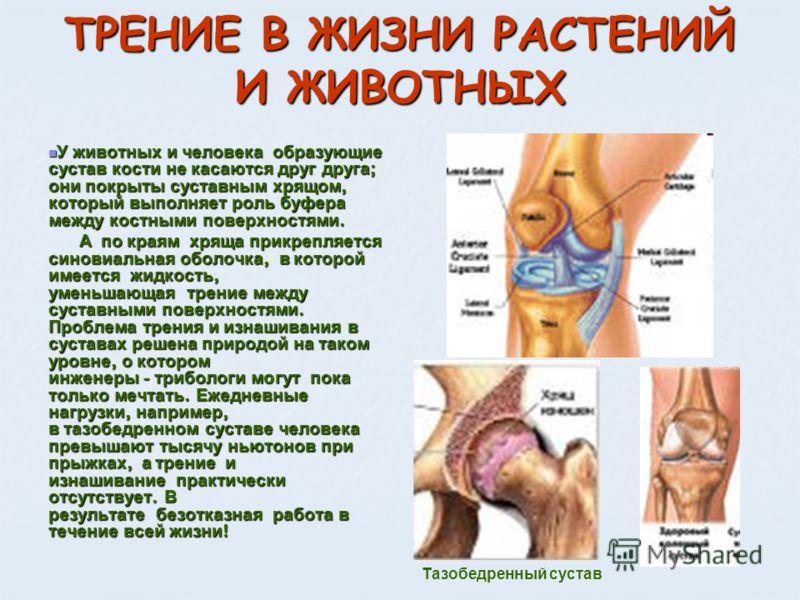 ТРЕНИЕ В ЖИЗНИ РАСТЕНИЙ И ЖИВОТНЫХ У животных и человека образующие сустав кости не касаются друг друга ; они покрыты суставным хрящом, который выполняет роль буфера между костными поверхностями. У животных и человека образующие сустав кости не касаю