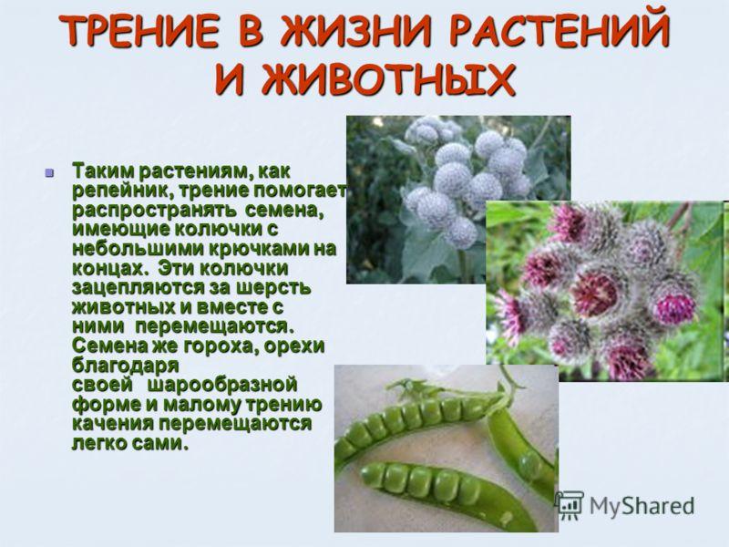 Таким растениям, как репейник, трение помогает распространять семена, имеющие колючки с небольшими крючками на концах. Эти колючки зацепляются за шерсть животных и вместе с ними перемещаются. Семена же гороха, орехи благодаря своей шарообразной форме