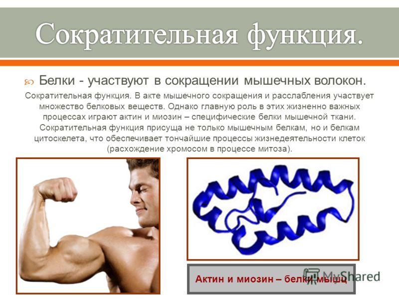 Белки - участвуют в сокращении мышечных волокон. Сократительная функция. В акте мышечного сокращения и расслабления участвует множество белковых веществ. Однако главную роль в этих жизненно важных процессах играют актин и миозин – специфические белки