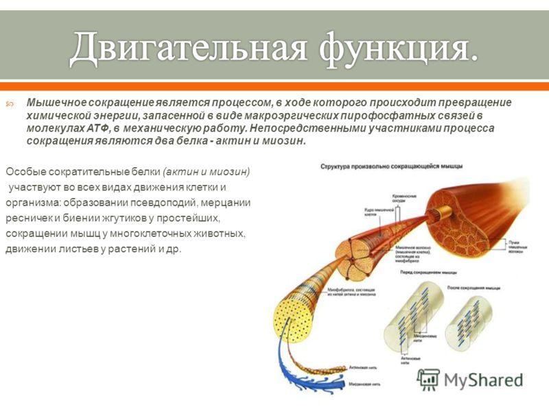 Мышечное сокращение является процессом, в ходе которого происходит превращение химической энергии, запасенной в виде макроэргических пирофосфатных связей в молекулах АТФ, в механическую работу. Непосредственными участниками процесса сокращения являют