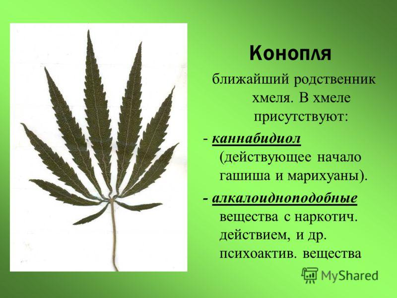 Конопля ближайший родственник хмеля. В хмеле присутствуют: - каннабидиол (действующее начало гашиша и марихуаны). - алкалоидноподобные вещества с наркотич. действием, и др. психоактив. вещества