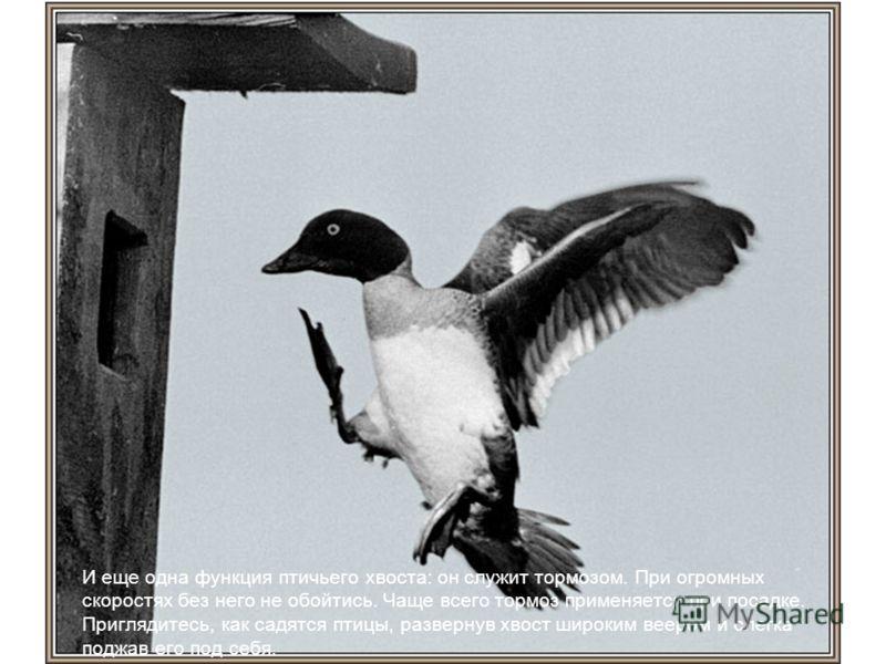 И еще одна функция птичьего хвоста: он служит тормозом. При огромных скоростях без него не обойтись. Чаще всего тормоз применяется при посадке. Приглядитесь, как садятся птицы, развернув хвост широким веером и слегка поджав его под себя.