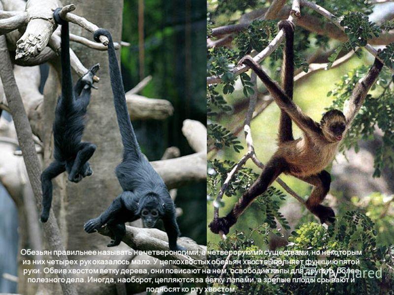 Обезьян правильнее называть не четвероногими, а четверорукими существами, но некоторым из них четырех рук оказалось мало. У цепкохвостых обезьян хвост