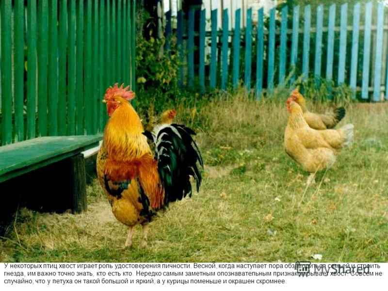 У некоторых птиц хвост играет роль удостоверения личности. Весной, когда наступает пора обзаводиться семьей и строить гнезда, им важно точно знать, кто есть кто. Нередко самым заметным опознавательным признаком бывает хвост. Совсем не случайно, что у