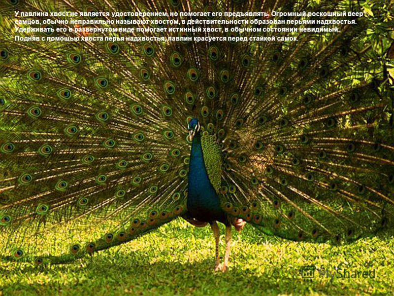 У павлина хвост не является удостоверением, но помогает его предъявлять. Огромный роскошный веер самцов, обычно неправильно называют хвостом, в действительности образован перьями надхвостья. Удерживать его в развернутом виде помогает истинный хвост,