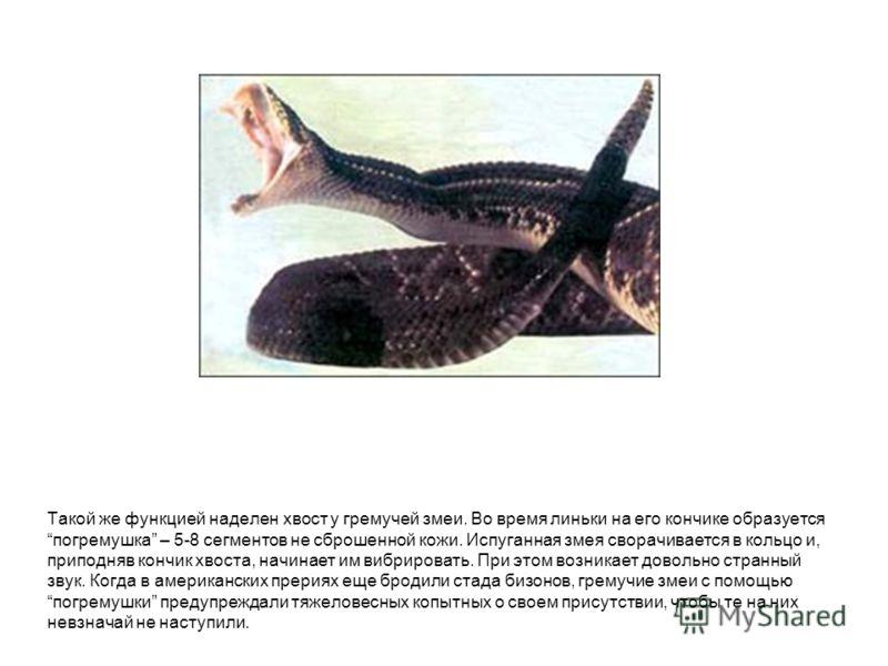 Такой же функцией наделен хвост у гремучей змеи. Во время линьки на его кончике образуется погремушка – 5-8 сегментов не сброшенной кожи. Испуганная з