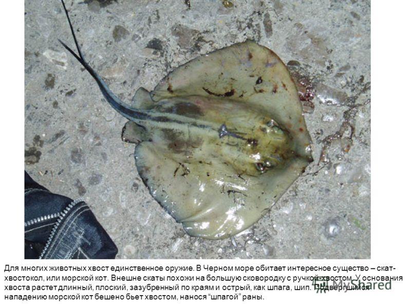 Для многих животных хвост единственное оружие. В Черном море обитает интересное существо – скат- хвостокол, или морской кот. Внешне скаты похожи на бо