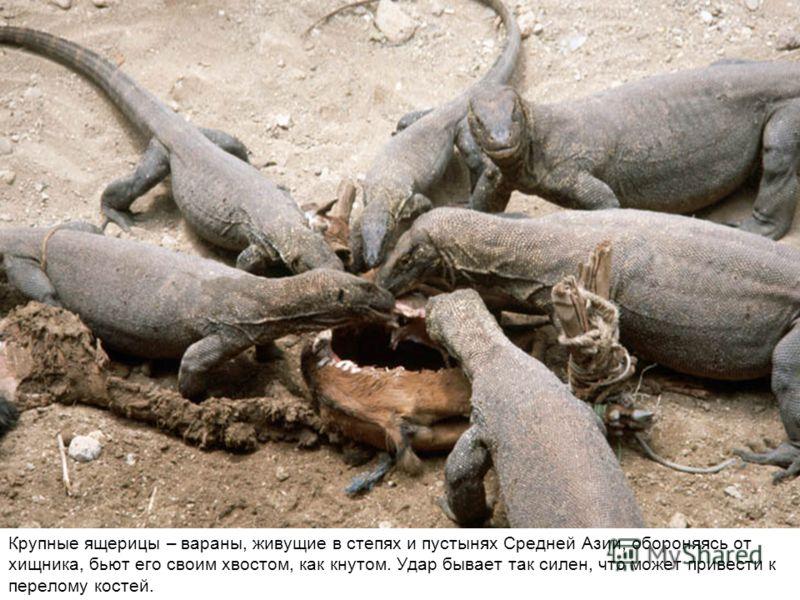 Крупные ящерицы – вараны, живущие в степях и пустынях Средней Азии, обороняясь от хищника, бьют его своим хвостом, как кнутом. Удар бывает так силен, что может привести к перелому костей.