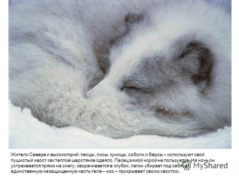 Жители Севера и высокогорий: песцы, лисы, куницы, соболи и барсы – используют свой пушистый хвост как теплое шерстяное одеяло. Песец зимой норой не по